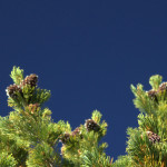 NSF publishes press release highlighting research on Whitebark Pine